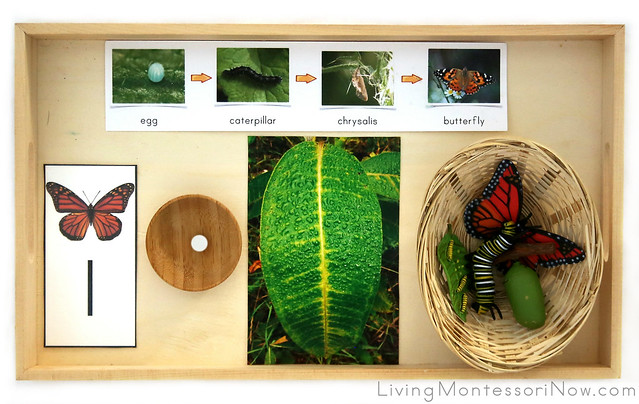 Butterfly Egg and Life Cycle Tray