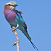 species 1: Lilac-breasted Roller, Chobe National Park, Botswana by cirdantravels (Fons Buts)