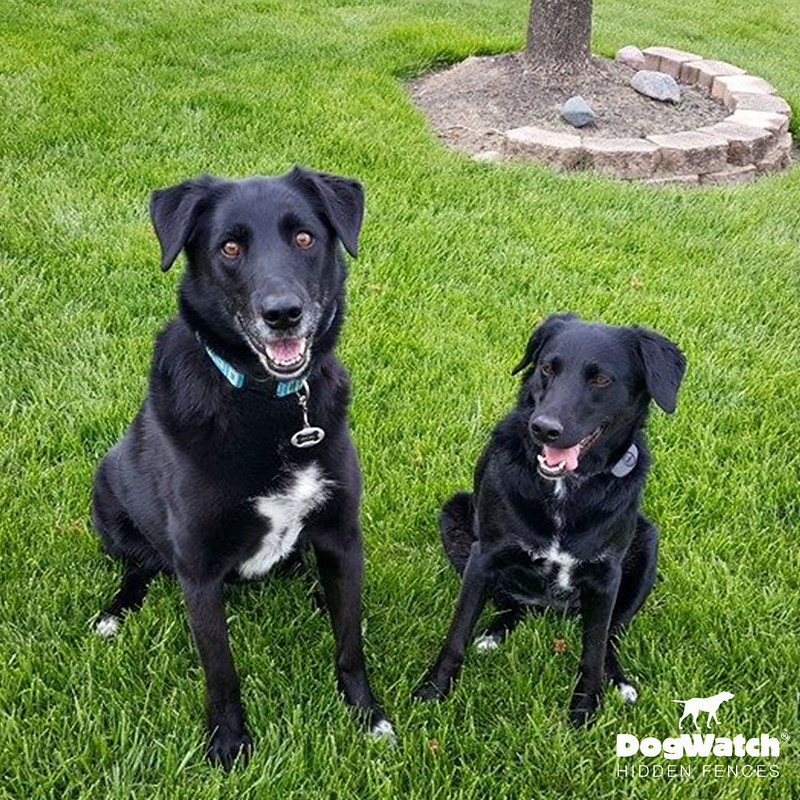 Smokey and Mellow, Lab mixes, DogWatch of Greater Cincinnati