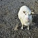 Small photo of Ewe