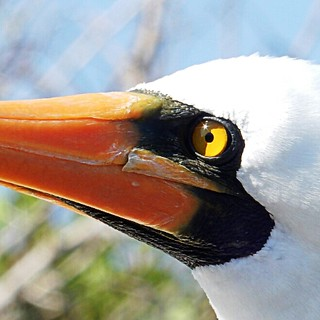 Yellow footed booby - Close-ups of wildlife in Galapagos islands - Ecuador