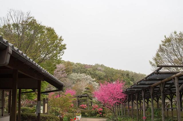 2016/04/10_町田ぼたん園-1