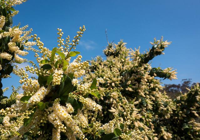 Catalina cherry (Prunus ilicifolia ssp. lyonii)