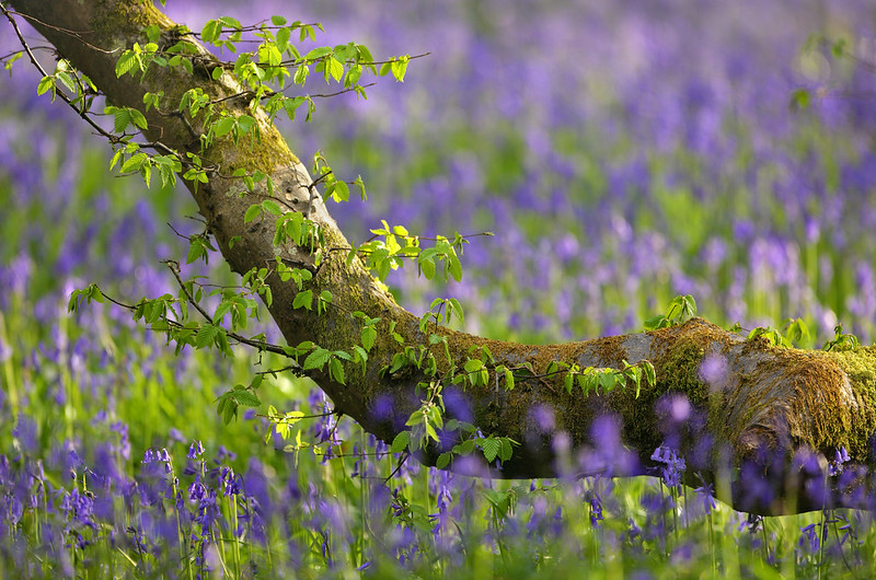 Bluebells, Abbots Wood