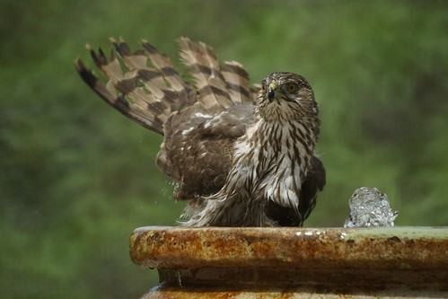 Cooper's Hawk taking a bath