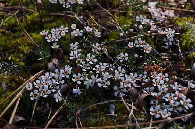 Pyxidanthera barbulata- Pyxie Moss (2)