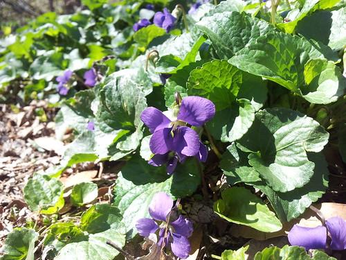 Violets in My Garden