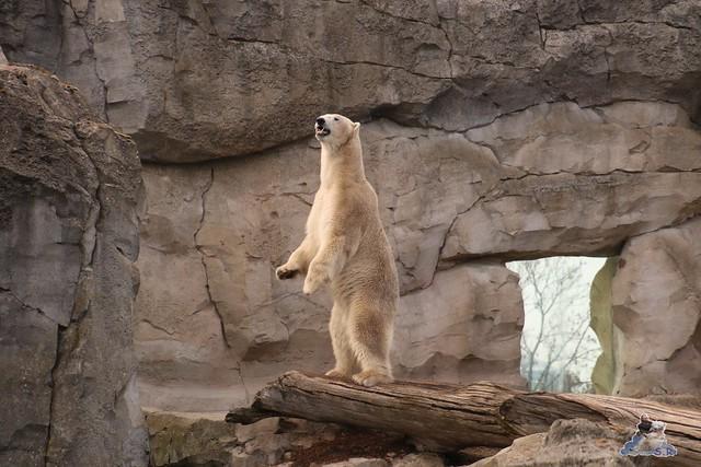 Eisbär Lili im Zoo am Meer Bremerhaven 09.04.2016 Teil 2  0142