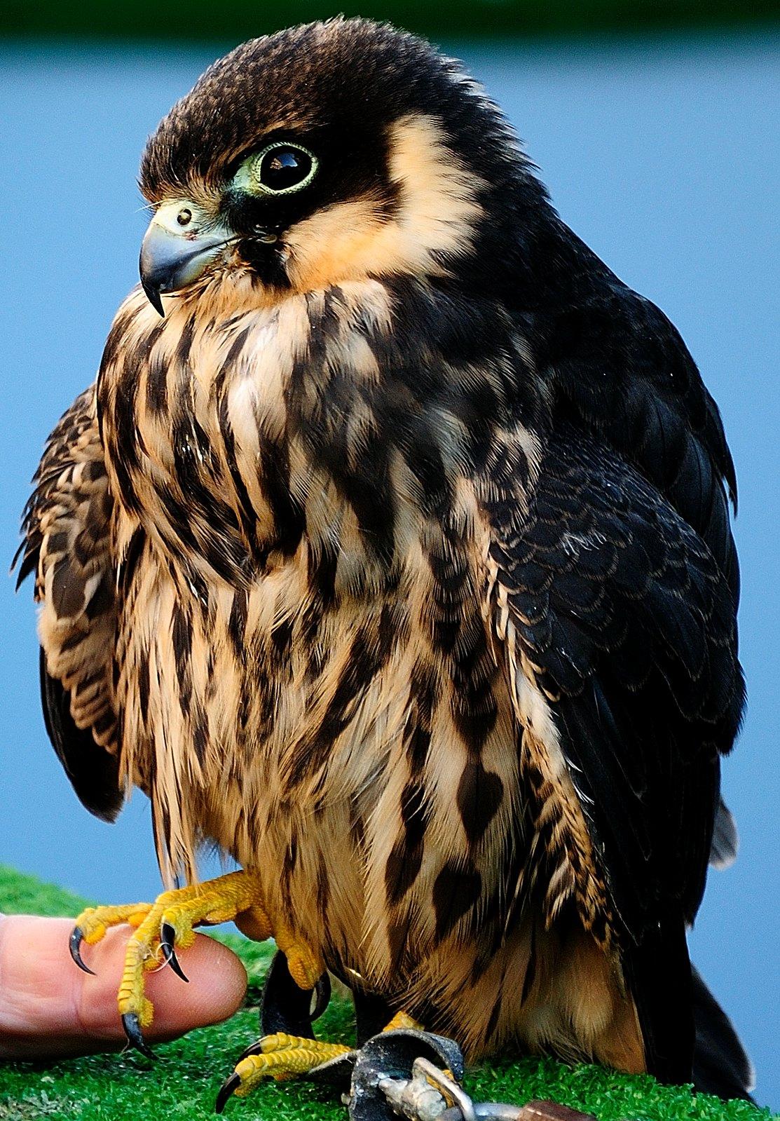 Falco 26391190515_a53d187215_h