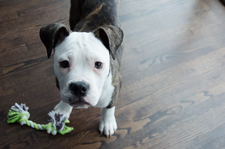 Diesel the Bulldog Puppy Examines the Camera | by pmarkham