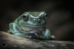 White\'s Tree Frog at the San Diego Zoo\'s Reptile House