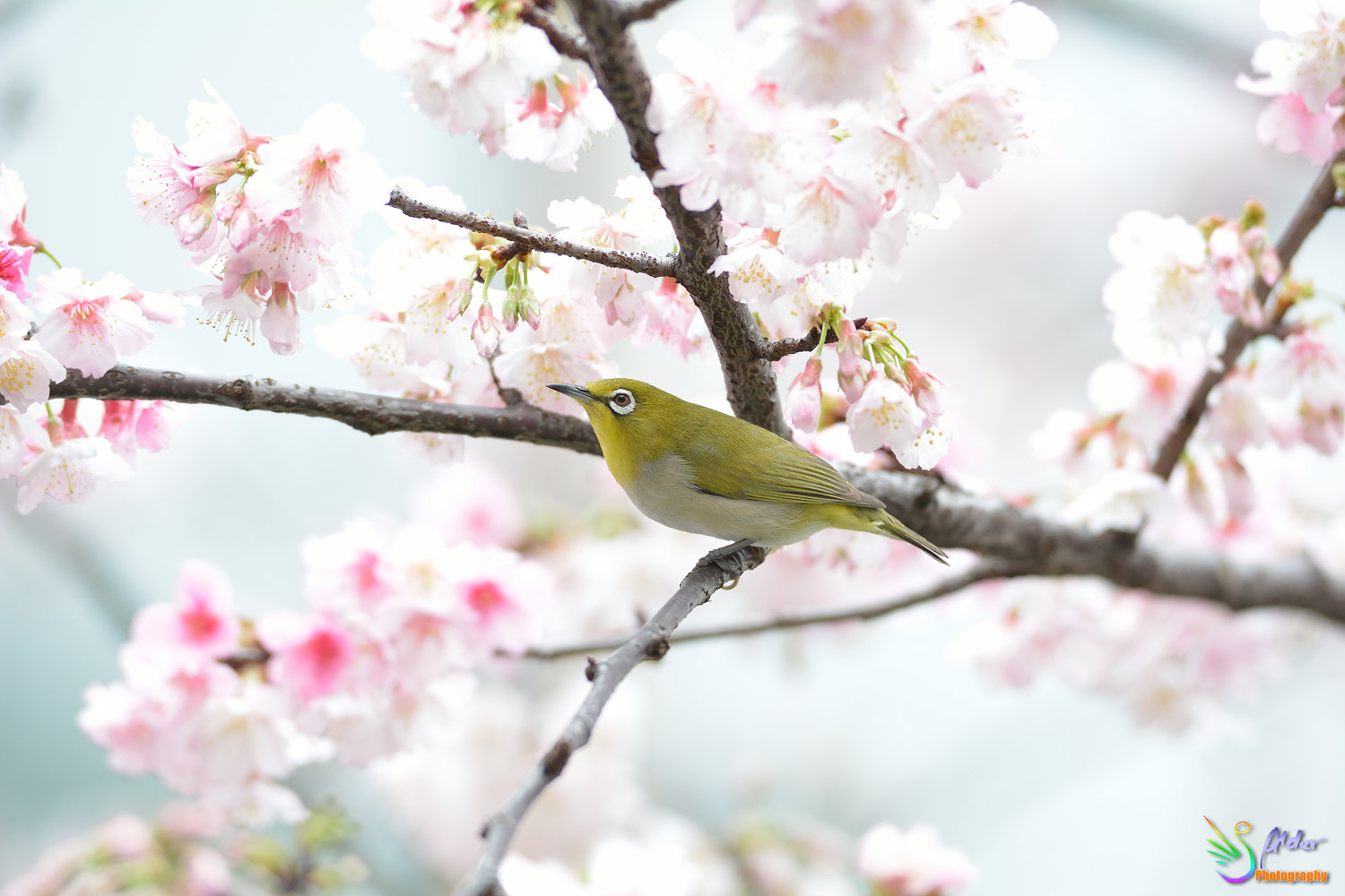 Sakura_White-eye_6740