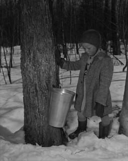 Child beside a maple tree looking at maple sap in a pail / Un enfant à côté d'un arbre regarde la sève d'érable dans un seau
