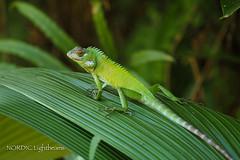 Green forest lizard - Sägerückenagame #1