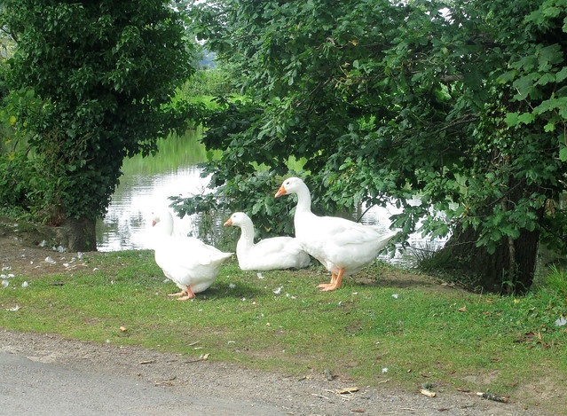 Wild? Geese at Mount Grace Priory