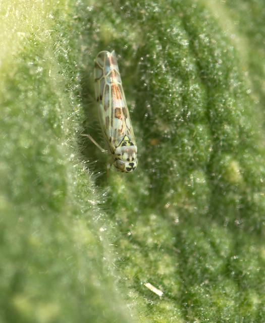 Eupteryx melissae