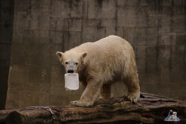 Eisbär Fiete im Zoo Rostock 12.03.2016   0119
