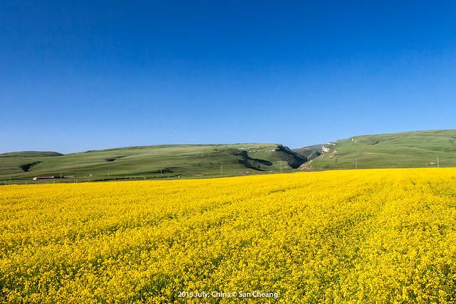 蒙古包與油菜花