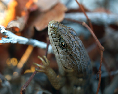 201602 Alligator Lizard2
