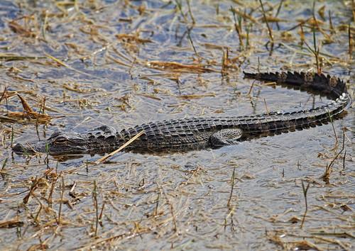 American Alligator 2-20160221