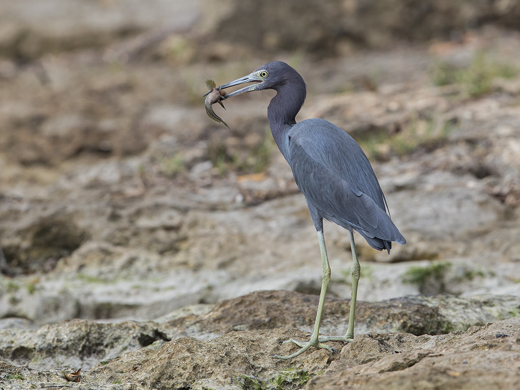 Little_Blue_Heron_Egretta_caerulea_1