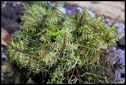 Hylocomium splendens (3)