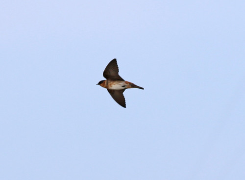 Cave Swallow 1