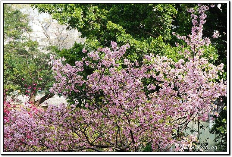 麗池公園河津櫻 (7)
