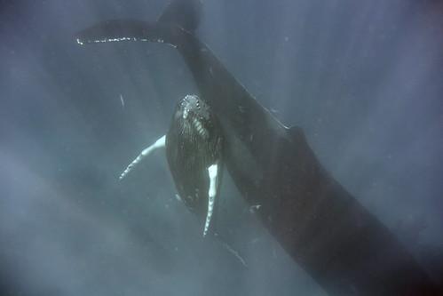 humpback mother and calf