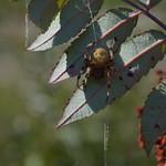 Spider on Sumac