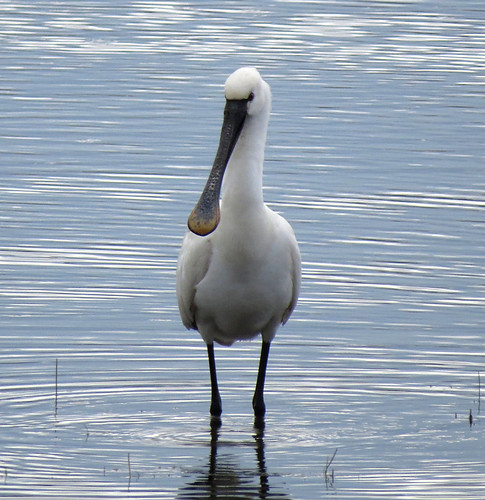 Spoonbill Platalea leucorodia Tophill Low NR, East Yorkshire April 2016