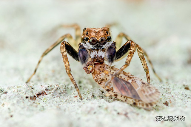 Jumping spider (Spartaeus sp.) - DSC_6314