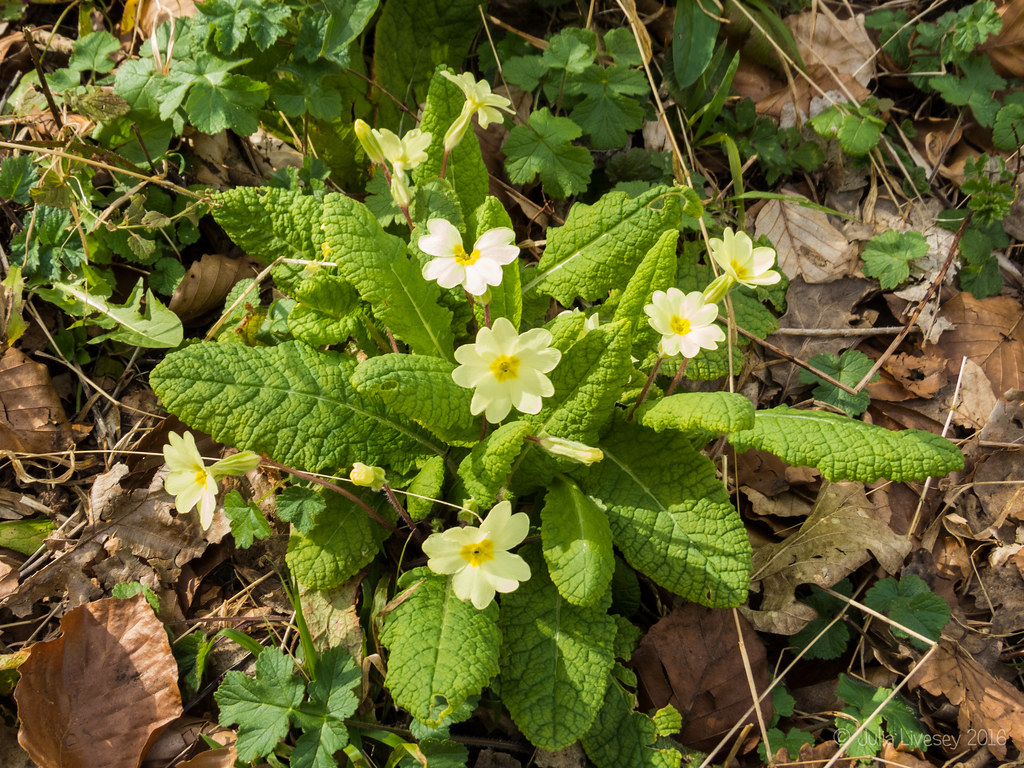 Primroses in the Woodland Walk