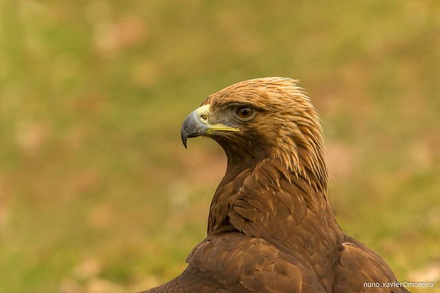 Aguia-real, Golden eagle(Aquila chrysaetos)