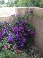 Don's Clematis
