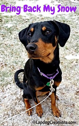 Bring Me Back My SNOW - Penny #dobermanpuppy #rescueddog #puppylovessnow #snowdog #adoptdontshop #LapdogCreations ©LapdogCreations