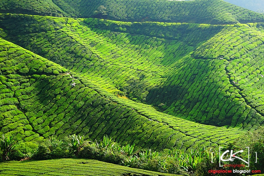Cameron_Highlands_013