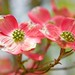 Pink flowers of Dogwood! by ineedathis,The older I get the more fun I have....