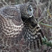 Great Gray Owl - by photosauraus rex