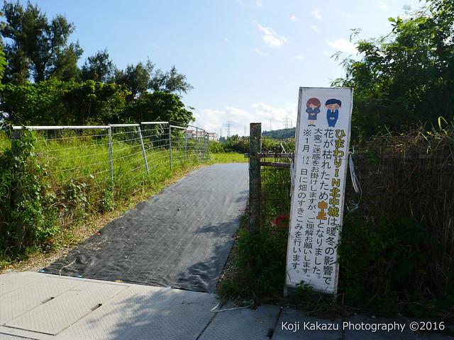 沖縄県北中城村のひまわり-95