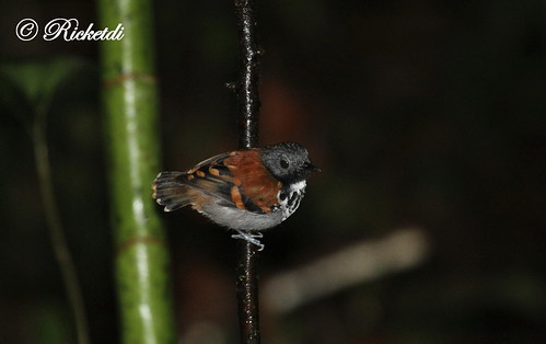 spottedantbird hylophylaxnaevioides birdofcostarica fourmiliergrivelé