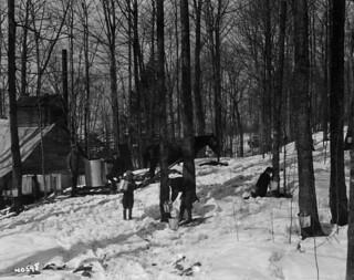 Gathering maple sap / Cueillette de la sève d'érable