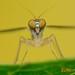 Dolichopodidae, the Long-Legged Flies by Vin PSK