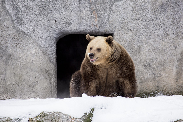 Brown bears first day out after hibernation.