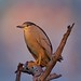 Adult Night Heron (rs) by Blingsister
