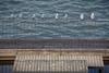 8 Dirty Gulls by sesquatch