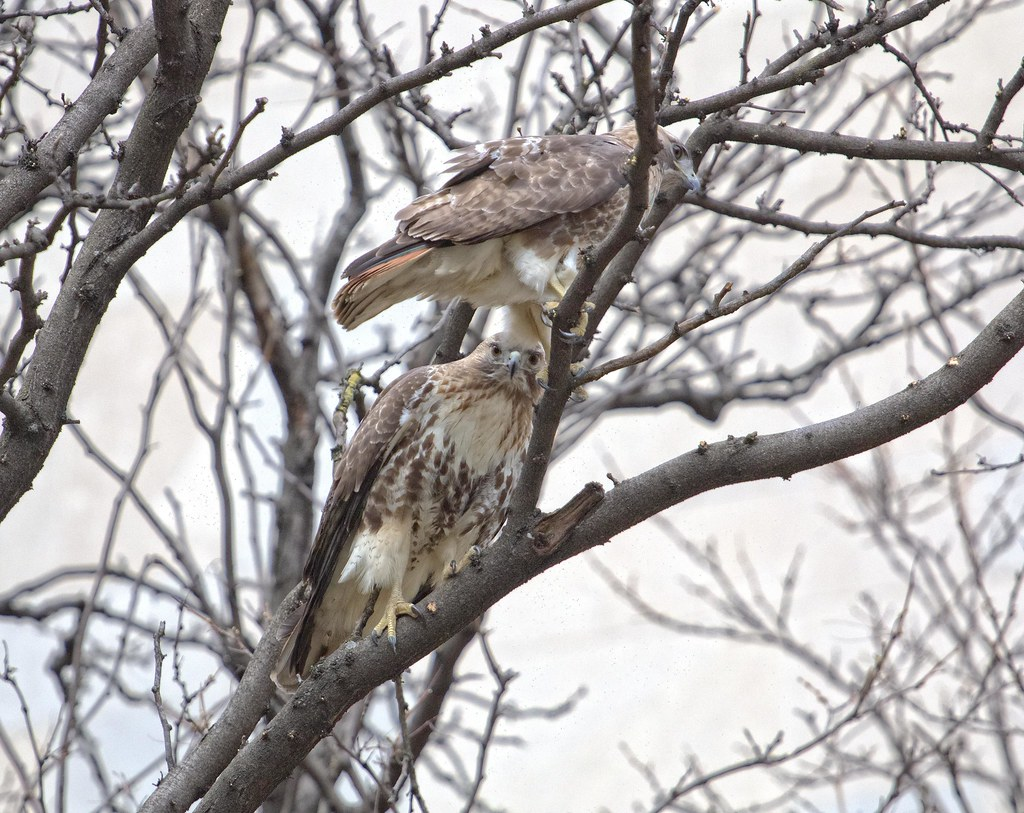 Chinatown red-tail pair
