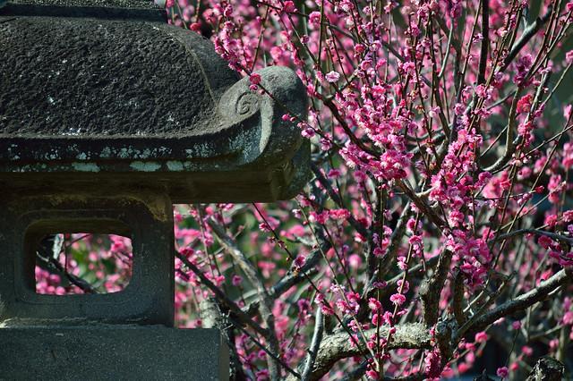石灯籠とウメ