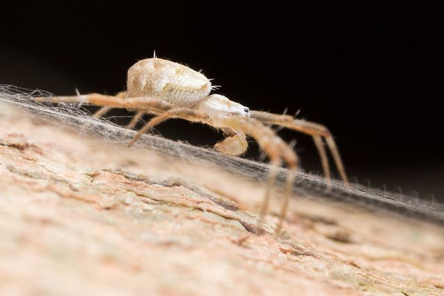 Argiope sp. Male.