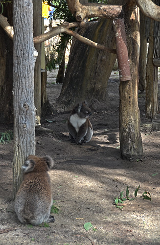 Koalas at Cleland Wildlife Preserve